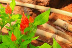 Red plumed cockscomb flower or Celosia argentea beautiful in the garden.  Stock Photography