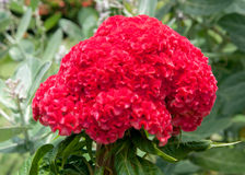 Red plumed cockscomb flower on tree Stock Photo