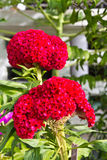 Red plumed cockscomb flower Royalty Free Stock Images