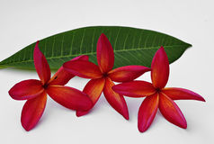 Red Plumeria. Flowers on white background stock photos