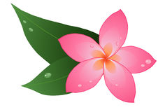Red plumeria Royalty Free Stock Images