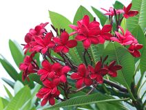 Red Plumeria. A close up of a bunch of red plumeria in full bloom stock photos