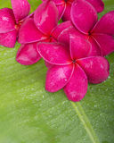 Red plumeria on banana leaf Royalty Free Stock Photos