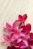 Red Plumeria flower. Pink and red Plumeria flower on wooden background Royalty Free Stock Photo