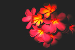 Red Plumeria flower. Plumeria flower on red and black background (selective focus Stock Image