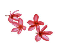 Red plumeria flower Royalty Free Stock Photography