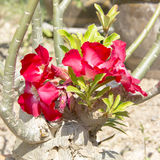Red plumeria flower grow from trunk Stock Photography