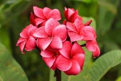 Red plumeria flower Stock Photos