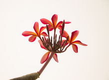 Red plumeria flower Royalty Free Stock Photos