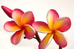 Red plumeria flowers Royalty Free Stock Image