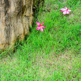 Red plumeria flowers bloom on green grass Royalty Free Stock Photos