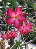 Red plumeria flowers Stock Photo