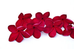 Red plumeria flowers for border. Pink Plumeria isolated on white background Royalty Free Stock Image