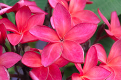 Red Plumeria flowers Stock Photography