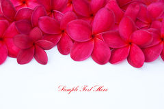 Red Plumeria Frangipani Flower with Royalty Free Stock Image