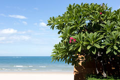 Red Plumeria or frangipani flower with blue sky and beach. In background Stock Image