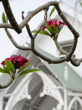 Red plumeria in front of Painted Church of St Benedict Stock Photo