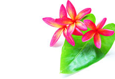 Red plumeria and green leaf Royalty Free Stock Photo