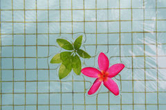 Red Plumeria with green leaves. Are floating on the pool Royalty Free Stock Photography