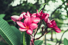 Red Plumeria. Tropical flower the Red Plumeria Stock Photos