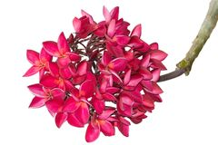 Red plumeria tropical flowers isolated on white. Clipping path royalty free stock image