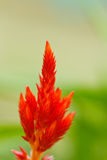 Red plumped celosia flower Royalty Free Stock Photos
