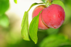 Red plums. Two red plums on a tree Stock Photos
