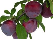 Red plums Stock Photos