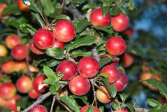 Red Plums. Close up shot of red plums on the tree Royalty Free Stock Image
