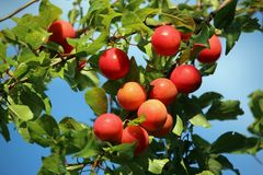 Red plums in autumn Stock Photo