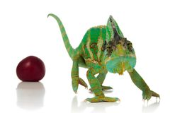 Red plums and chameleon. Red plums and green chameleon over white background Royalty Free Stock Images