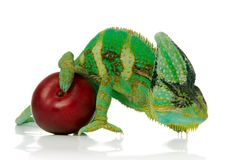 Red plums and chameleon. Red plum and green chameleon over white background Royalty Free Stock Image