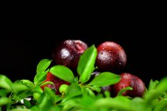 5 Red Plums stacked with plum leaves stock image