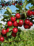 Red plums on tree Royalty Free Stock Photography