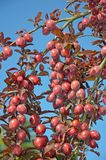 Red plums on tree Royalty Free Stock Image