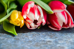 Red Plural and yellow Tulips on a balck textured background. Clo. Se up and Copy Space Royalty Free Stock Image