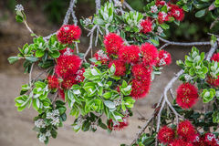Red pohutukawa flowers stock photography