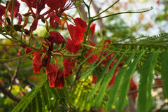 Red poincana. Green leaf bokeh background in the dusk moment Royalty Free Stock Photo
