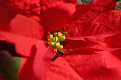 Red Poinsetta Royalty Free Stock Image