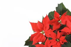 Red Poinsettia. Christmas flower - Poinsettia red on a white background Stock Image
