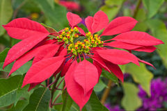 Red poinsettia. In his natural environment royalty free stock photography