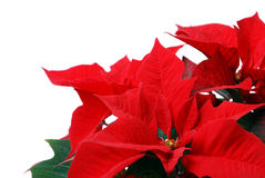 Red Poinsettia. Christmas Decorations - Red Poinsettia. Isolated over white royalty free stock image