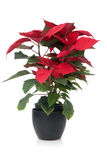 Red poinsettia. Christmas plant isolate on white background royalty free stock images