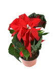 Red poinsettia Royalty Free Stock Photography