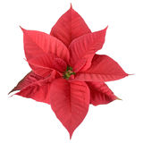 Red poinsettia Royalty Free Stock Image