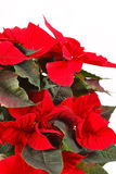 Red poinsettia. Isolated on a white background royalty free stock photo