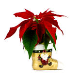 Red poinsettia. Royalty Free Stock Photo