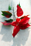 Red poinsettia Stock Images