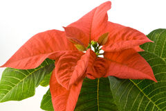 Red Poinsettia. Isolated on white background Royalty Free Stock Photos