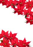 Red Poinsettia - background. Christmas red poinsettias background over white Stock Photo